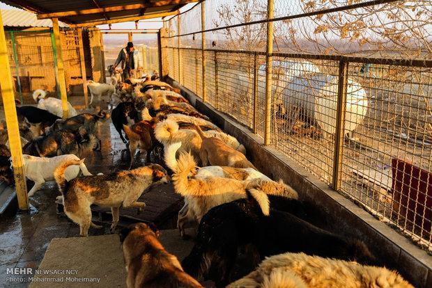 2500 قلاده سگ ولگرد در رفسنجان جمع آوری شد