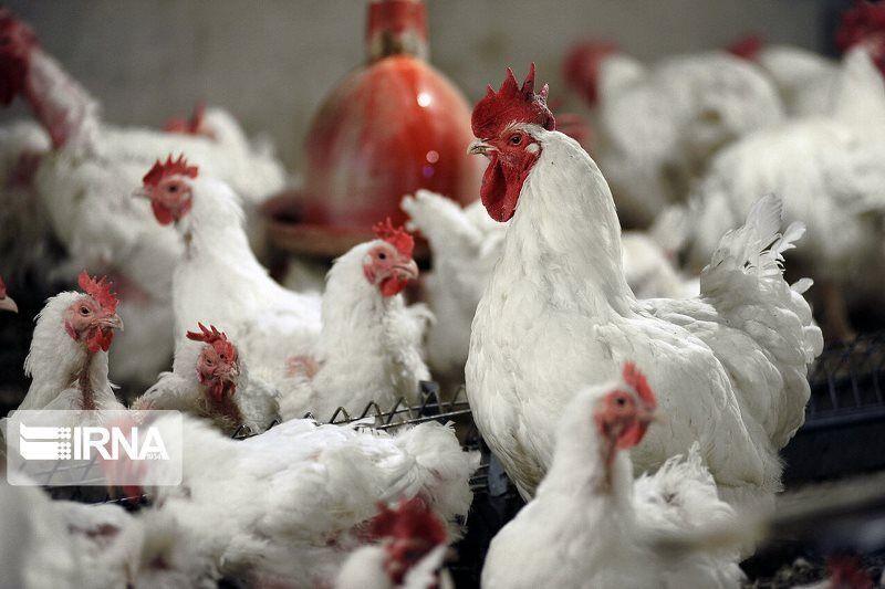 خبرنگاران 470 مکان عرضه مرغ زنده در استان کرمانشاه پلمب شد