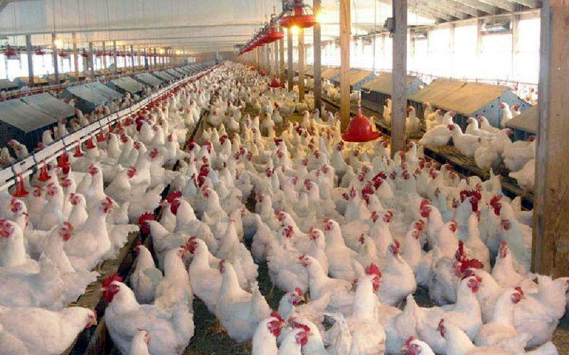 اعلام قیمت جدید هر کیلو مرغ