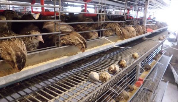 تورهای چین: تخم بلدرچین گران تر از تخم مرغ! ، هر کیلو تخم بلدرچین 65 هزار تومان
